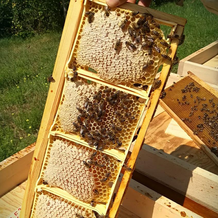 miel en rayon prêt à la récolte