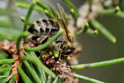 abeille sur du sapin