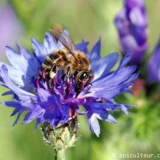 abeille_fleur_bleuet