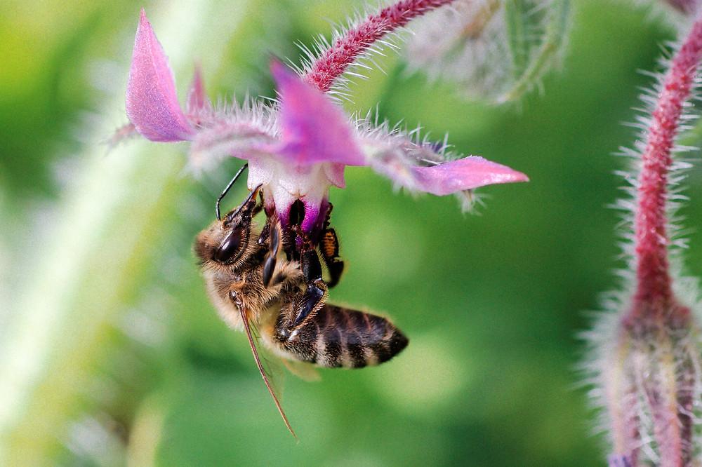Abeille butinant sur une fleur de bourrache.