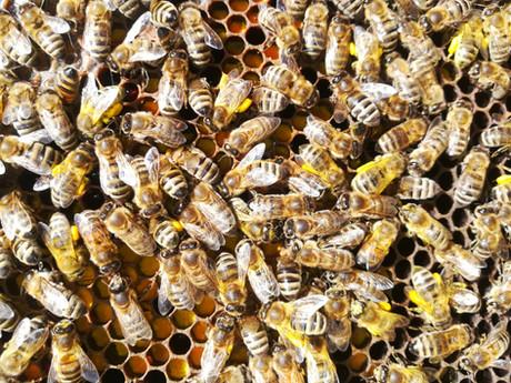 Colonies d'abeilles Carnica