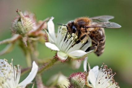 abeille sur fleur de ronce