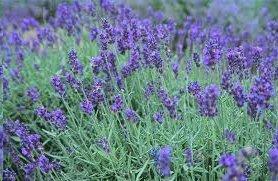 Lavender Rosemary Spray