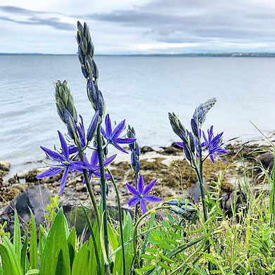 Camassia ssp (Camas) on the Bellingham w