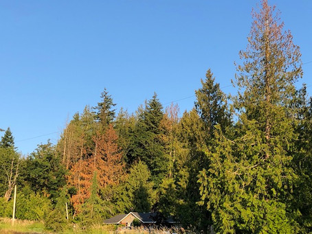 Western Red Cedar - the latest climate change victim?
