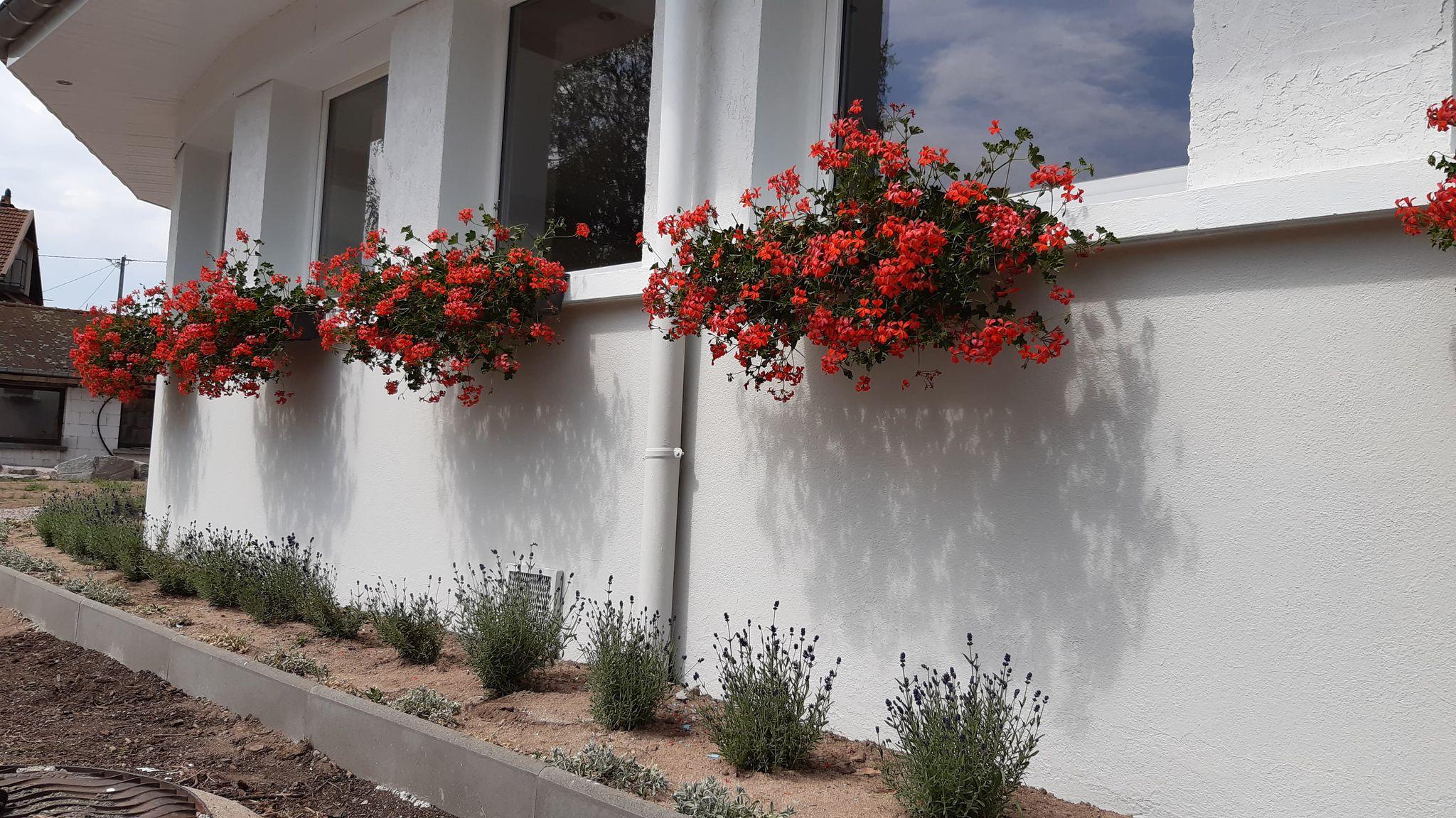 Aménagement façade avant (lavandes et géraniums)