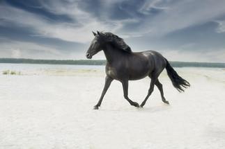 Gotland Furillen svart häst.jpg
