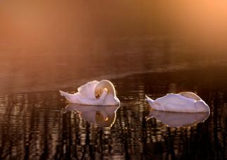 Vilande svanar  i guldljus.jpg