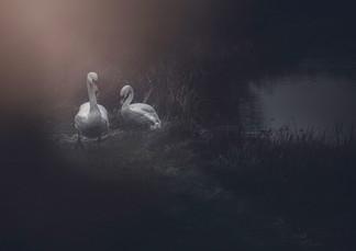 Två svanar.jpg