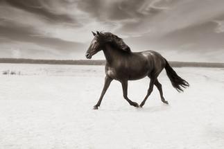 Gotland Furillen svart häst sv.jpg