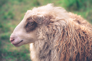 Finnhamn porträtt av ett får.jpg