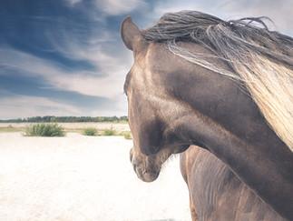 Gotland Furillen häst huvud II.jpg