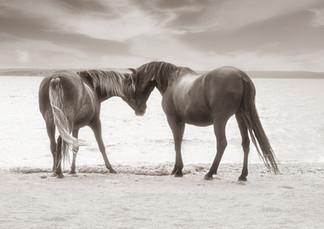 Gotland Furillen hästar som hälsar sv.jpg