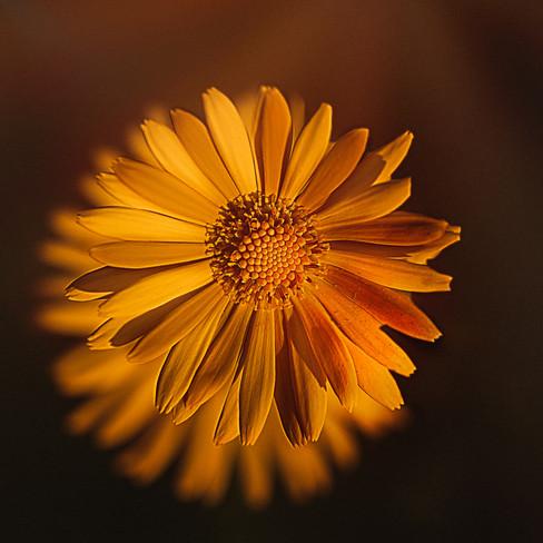 gul blomnma.jpg