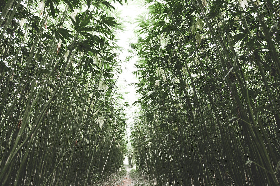 Hemp Field of Sustainable Stalks for Fib