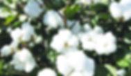 Organic cotton - Bear Fiber, Inc., fiber