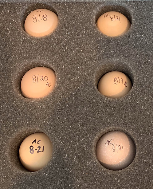 Hatching Eggs - Ayam Cemani
