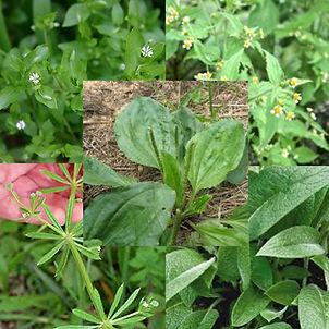 Edible Weeds - Part 1