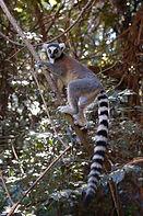 lemur catta_BADEN.JPG