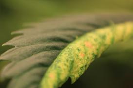 Close up of hemp mosaic virus?