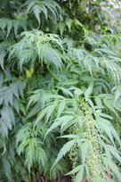Cannabis look-alike, Datisca cannabina, in the garden of SLU, Alnarp.