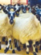 Hexham 2019 Mule Gimmer lambs pic.jpg