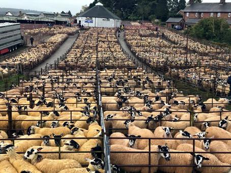 Praise all round from NEMSA following unprecedented gimmer lamb trade