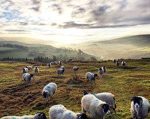 Chris Harrison Swaledale ewes pic.jpg