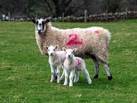 Full speed ahead for NEMSA lambing season