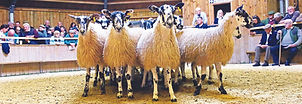 Tow Law 2019 Mule Gimmer lambs pic 1.jpg