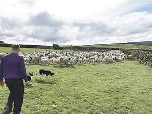 CCM-NEMSA  Lawn Mule lambs gathering pic