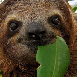 three-toed-sloth.jpg