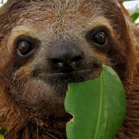 three-toed-sloth.jpg
