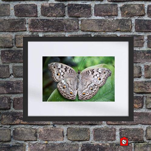 Grauer Schmetterling (Passepartou)