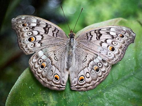Grauer Schmetterling (Gerahmt)