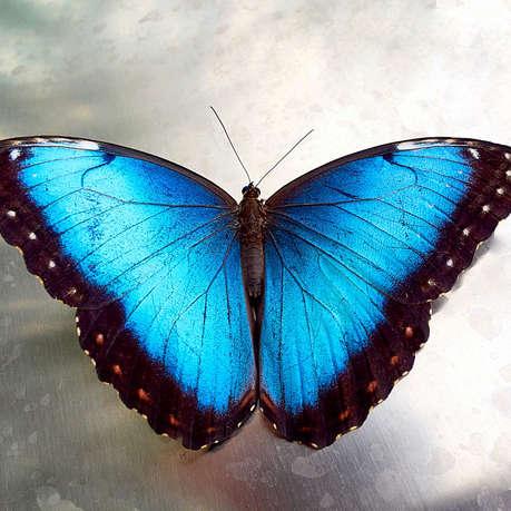 Blauer Morphofalter (Gerahmt)
