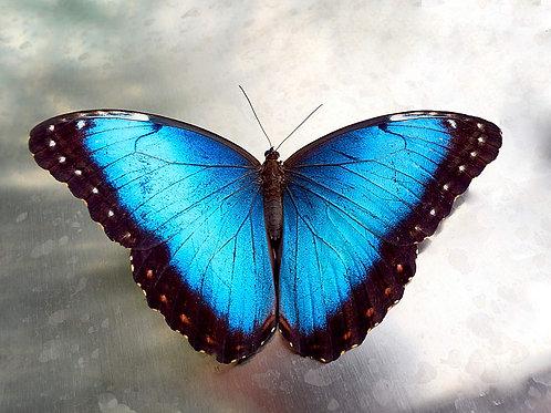 Blauer Morphofalter (Poster)