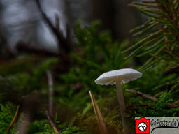 Makroaufname eines winzigen Pilzes (Poster)