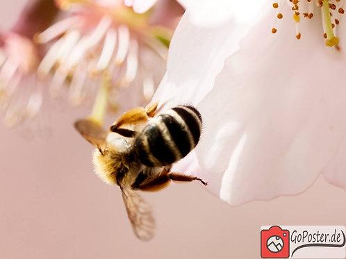 Kirschblüten mit Biene (Poster)