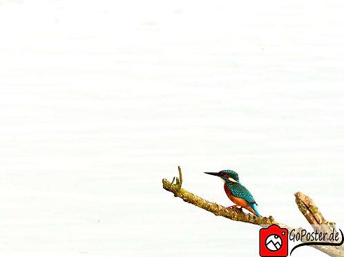 Eisvogel vor weißen Hintergrund (Poster)