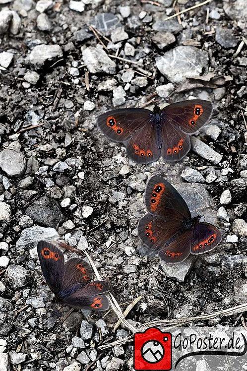 Gruppe von Schmetterlingen (Rahmen)