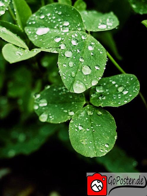Kleeblätter mit Regentropfen (Poster)