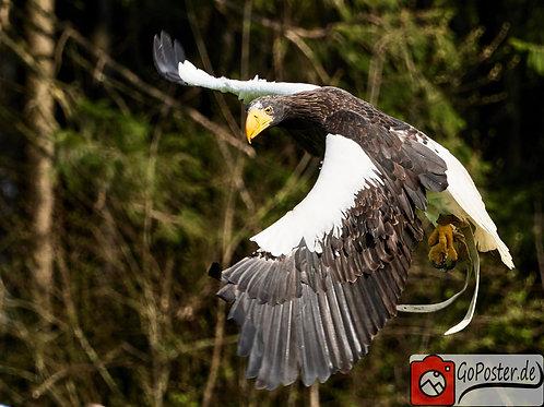 Riesenadler im Flug (Poster)