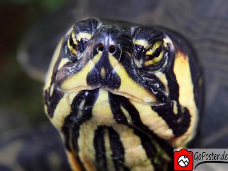 Schildkröte Nahaufnahme als Poster
