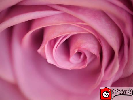Detalierte Nahaufnahme Rose (Poster)