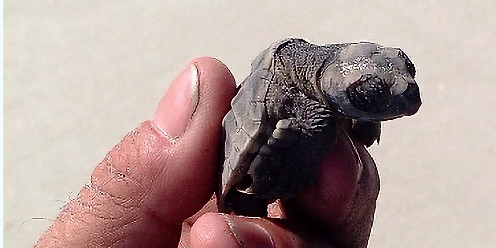 Coexisting with Endangered Sea Turtles on the Beaches of the Yucatan Peninsula
