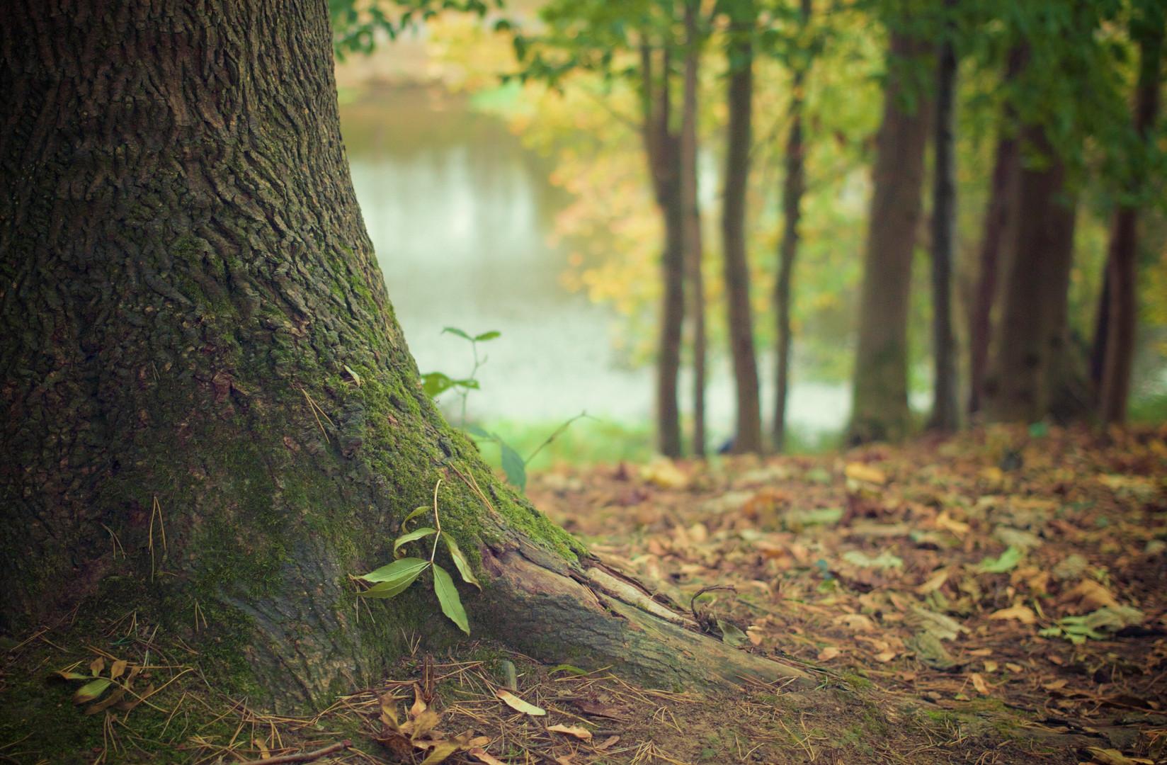 Baumstamm , Wald, Hintergrund Bild.jpg