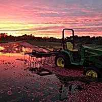 Cranberry harvest sunset