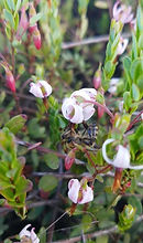 Bee on Cranberry Blossom
