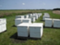 Bee hives cranberry marsh